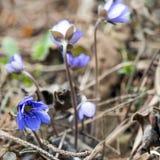 Snowdrops azuis na profundidade da floresta em abril de campo rasa fotos de stock royalty free
