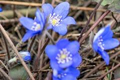 Snowdrops azuis na profundidade da floresta em abril de campo rasa imagens de stock