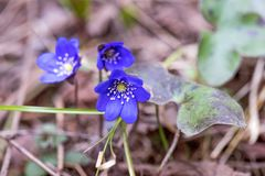 Snowdrops azuis na profundidade da floresta em abril de campo rasa foto de stock
