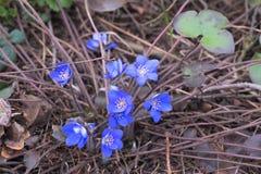 Snowdrops azuis na profundidade da floresta em abril de campo rasa fotografia de stock