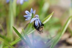 Snowdrops azules en día de primavera soleado con el abejorro Imagen de archivo