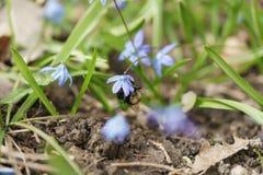 Snowdrops azules en día de primavera soleado con el abejorro Foto de archivo