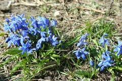 Snowdrops azules en la primavera Fotos de archivo libres de regalías