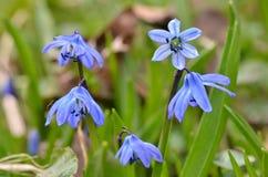 Snowdrops azules hermosos Fotografía de archivo