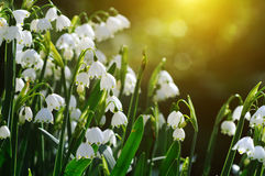 Snowdrops. Background with sunshine light Royalty Free Stock Image