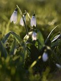 Snowdrops bask in the winter sunshine. As the sun sets in the garden in Wiltshire uk Royalty Free Stock Photos
