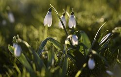 Snowdrops bask in the winter sunshine. In the garden in Wiltshire uk Royalty Free Stock Images