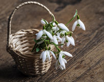 Snowdrops in a basket Royalty Free Stock Photos