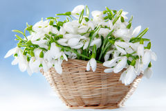 Snowdrops in basket Royalty Free Stock Photography