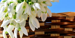 Snowdrops in basket closeup Stock Image