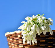 Snowdrops in basket closeup Royalty Free Stock Images