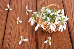 Snowdrops in a basket on the oak table. royalty free stock photography