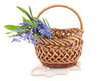 Snowdrops in basket. Stock Images