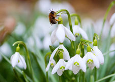 Snowdrops and Bee Stock Image