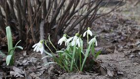 Snowdrops bend in the wind. stock footage
