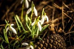 Snowdrops blancos Fotografía de archivo