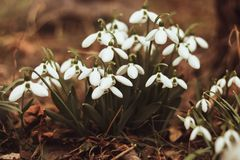 Snowdrops blancos con la luz de la ma?ana Textura del fondo de la flor de Snowdrop Modelo floral Verde fresco complementando el b fotos de archivo