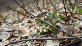 Snowdrops blancos de las primeras flores de la primavera en naturaleza en bosque metrajes