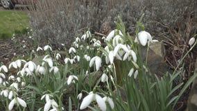 Snowdrops blancos hermosos almacen de metraje de vídeo