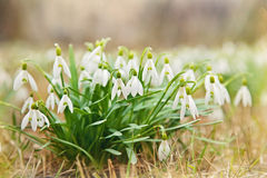 Snowdrops blancs de source. Photos libres de droits