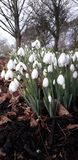 Snowdrops blancs image stock