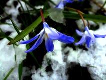Snowdrops2 bleu Image libre de droits