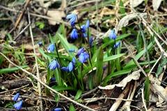 Snowdrops bleus Photographie stock