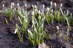 Snowdrops. Snowdrops bloom in early spring Stock Photography