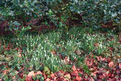 Free Snowdrops Blooming Between The Fallen Leaves In The February Sun Stock Photo - 133491320