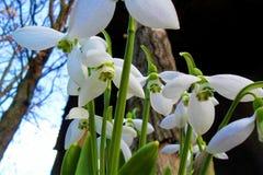 Snowdrops. Blooming snowdrops blooming snowdrops, snowdrops grown, fresh snowdrops, snowdrops merry, seasonal flowers royalty free stock photos