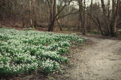 Snowdrops blooming. Blooming snowdrop field in the forest on the side of a walking path Stock Images