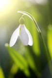 Snowdrops blooming in sunny day. Spring has arrived. Royalty Free Stock Photography