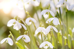 Snowdrops blooming in sunny day. Spring has arrived. Stock Image