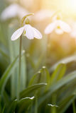 Snowdrops blooming in sunny day. Spring has arrived. Royalty Free Stock Photo