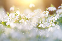Snowdrops blooming in sunny day. Spring has arrived. Royalty Free Stock Images
