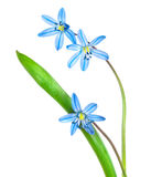 Snowdrops  blue Stock Images