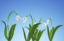 Snowdrops on blue background. Snowdrops on blue background 3d render Stock Photo