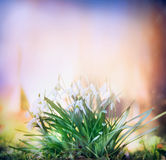 Snowdrops on blurred multicolored nature garden background Royalty Free Stock Photos
