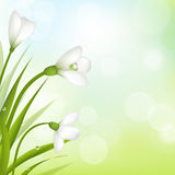 Snowdrops With Bokeh Royalty Free Stock Photo