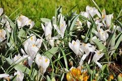 Snowdrops, branco, mola, verão, jardim, curso, Amsterdão fotografia de stock