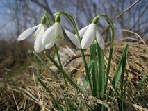 Snowdrops brancos Fotos de Stock