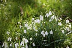 Snowdrops brancos delicados na grama na floresta Fotografia de Stock
