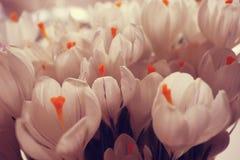 Snowdrops brancos do açafrão Imagem de Stock Royalty Free