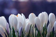Snowdrops brancos do açafrão Foto de Stock