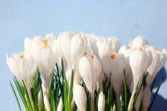 Snowdrops brancos do açafrão Fotografia de Stock Royalty Free