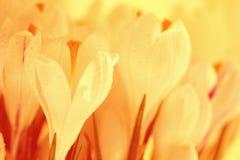 Snowdrops brancos do açafrão Imagens de Stock Royalty Free
