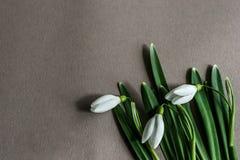 Snowdrops brancos em um fundo cinzento, vista superior fotos de stock royalty free