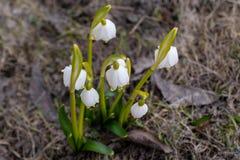 Snowdrops brancos no prado Close-up imagens de stock