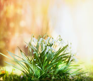 Snowdrops bunch on sunny spring garden background Stock Photo