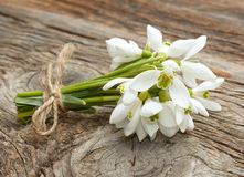 Snowdrops bunch Royalty Free Stock Image